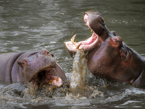 Hippo business